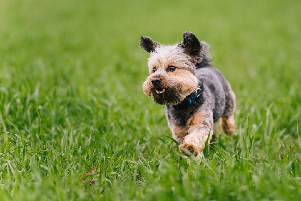 Puppy running on green grass